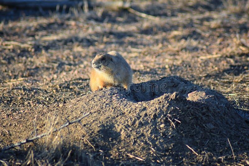 草原土拨鼠类草原犬鼠ludovicianus Black-Tailed在野生,食草挖洞的啮齿目动物,在shortgrass大草原ecosyst 库存照片
