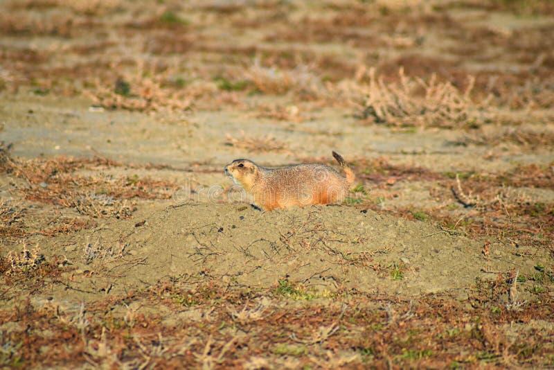 草原土拨鼠类草原犬鼠ludovicianus Black-Tailed在野生,食草挖洞的啮齿目动物,在shortgrass大草原ecosyst 免版税库存图片