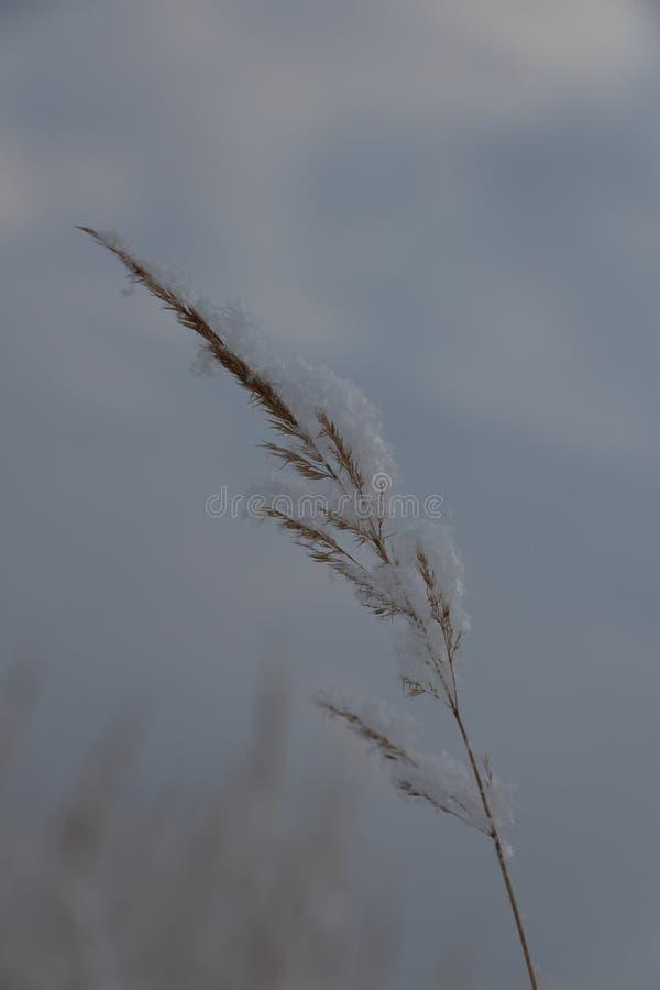 草叶在雪花下的 免版税库存图片