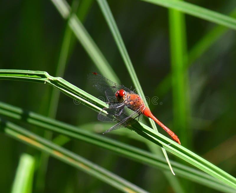 草叶的红色蜻蜓土地 免版税图库摄影