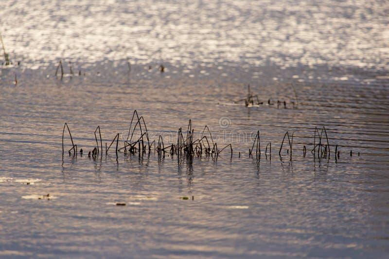 草和芦苇与反射在池塘 免版税库存图片
