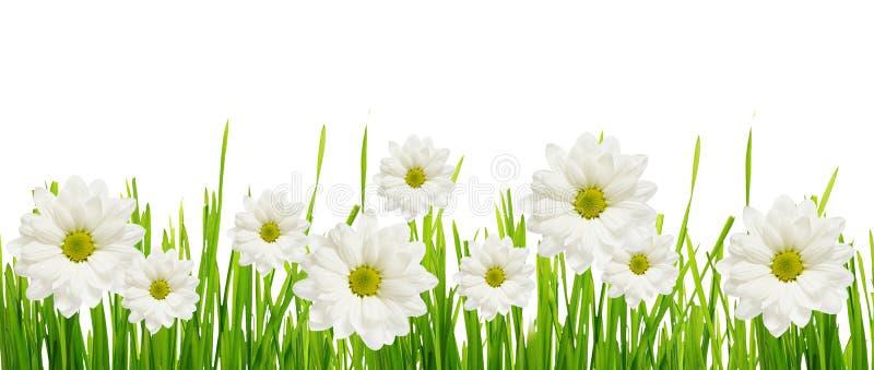 草和雏菊花边缘 库存照片