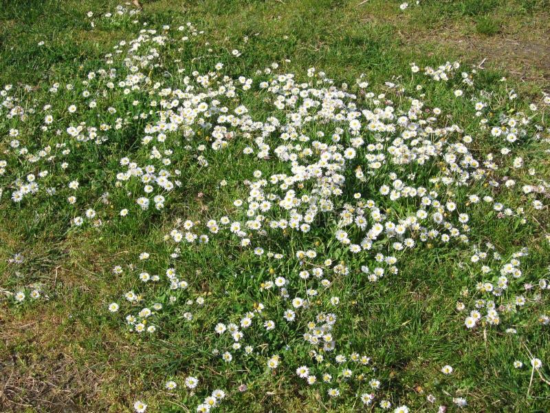 草和雏菊 免版税库存照片