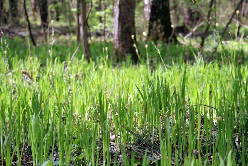 年轻草在森林里 库存照片