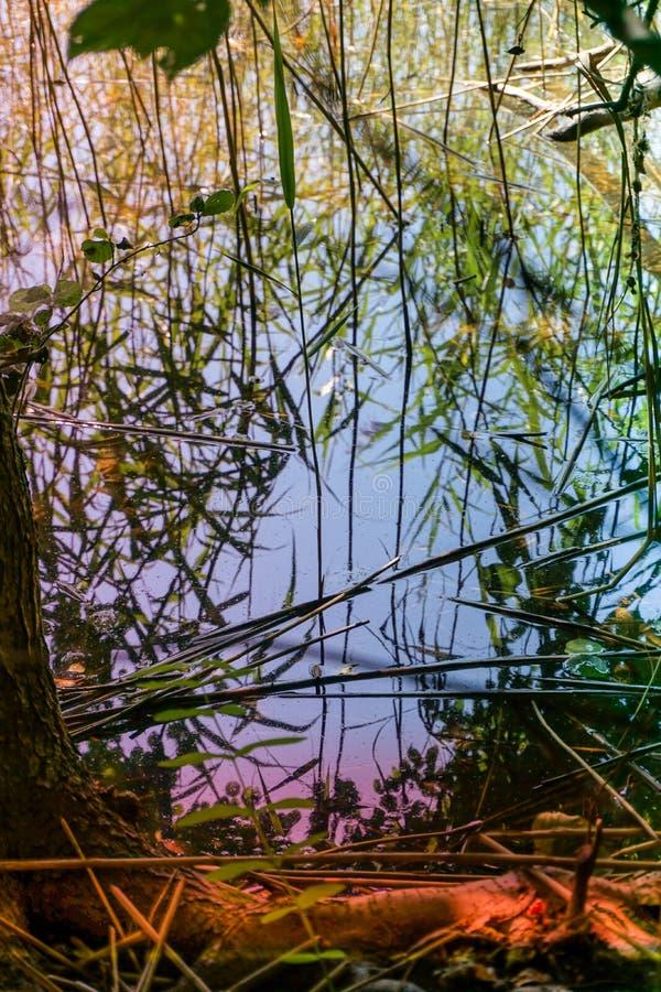 草在水中,沼泽的长满的池塘的反射 免版税库存图片