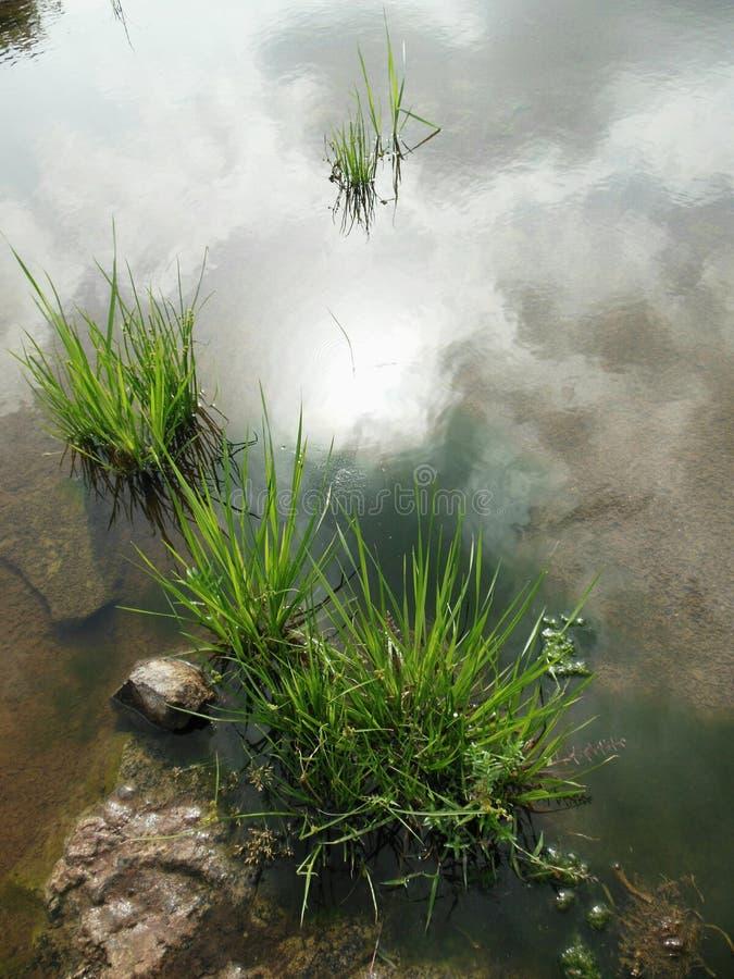 草在水中 免版税库存图片
