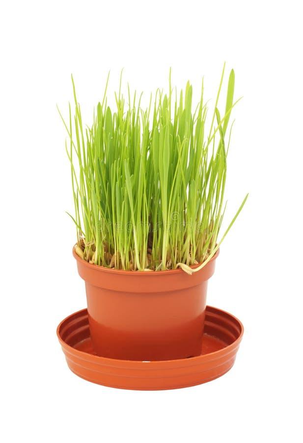 草在罐增长 库存照片