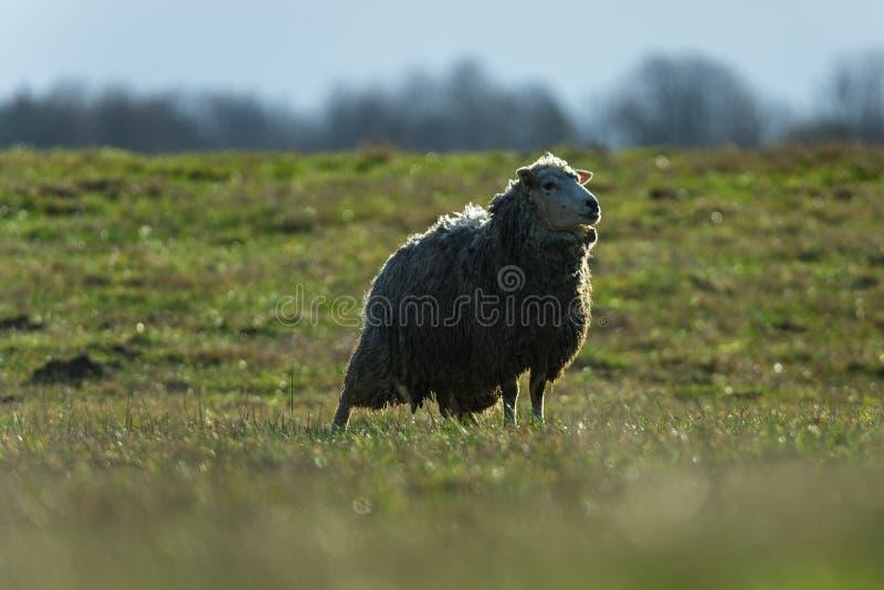草地上的羊 巴 免版税库存照片