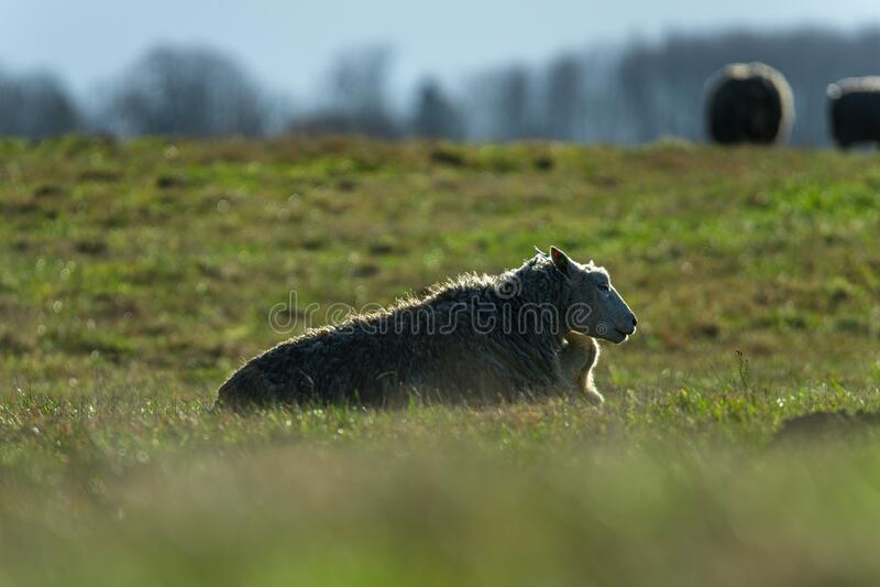 草地上的羊 巴 库存图片