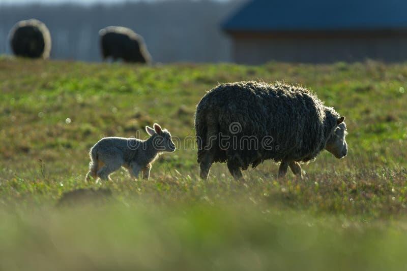 草地上的羊 巴 库存照片