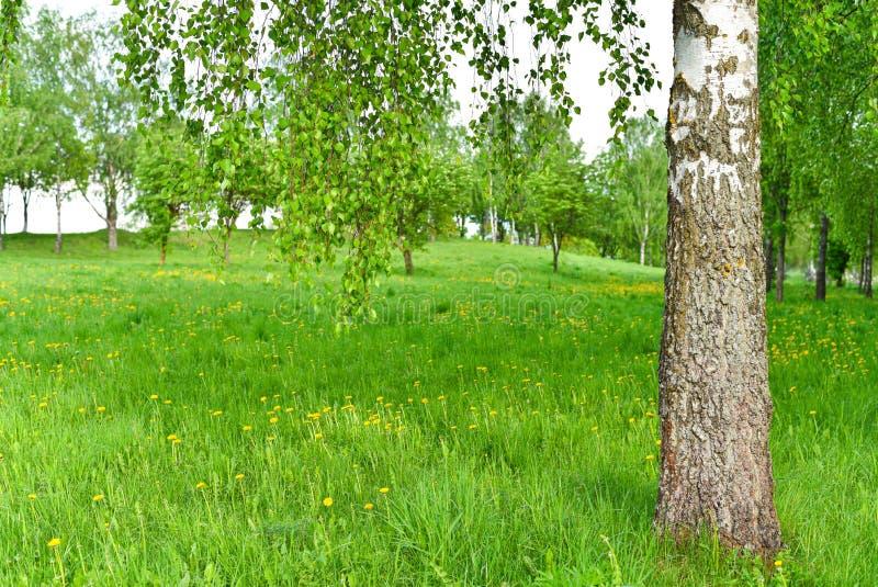 草坪在春天桦树树丛 库存图片