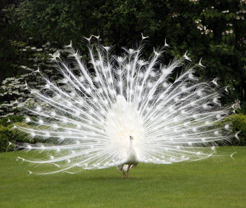 草坪孔雀理想的白色