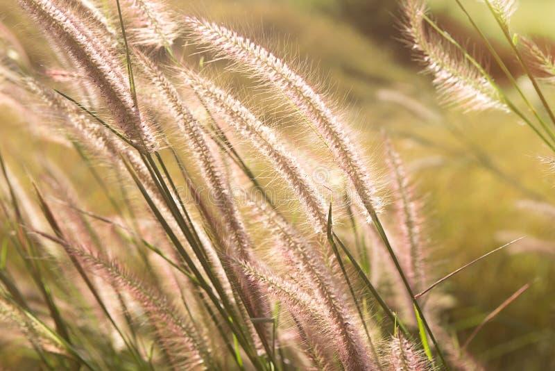 草大草原和日落 库存图片