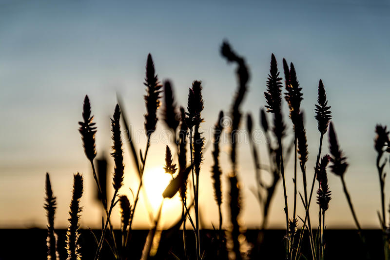 草开花由后面照的日落。 免版税库存照片