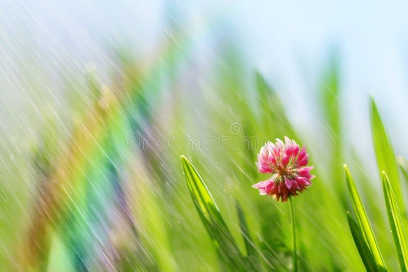 草新鲜的绿色春天叶子与桃红色三叶草的开花 免版税库存图片