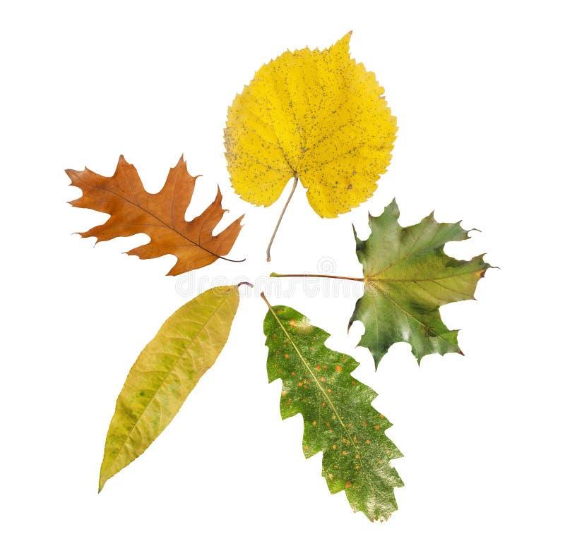 草本五在白色隔绝的农业自然秋天叶子 库存照片
