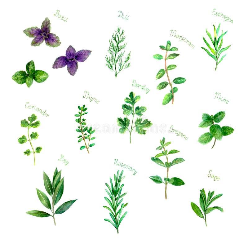 草本加香料在白色的水彩绿色新集合 库存例证