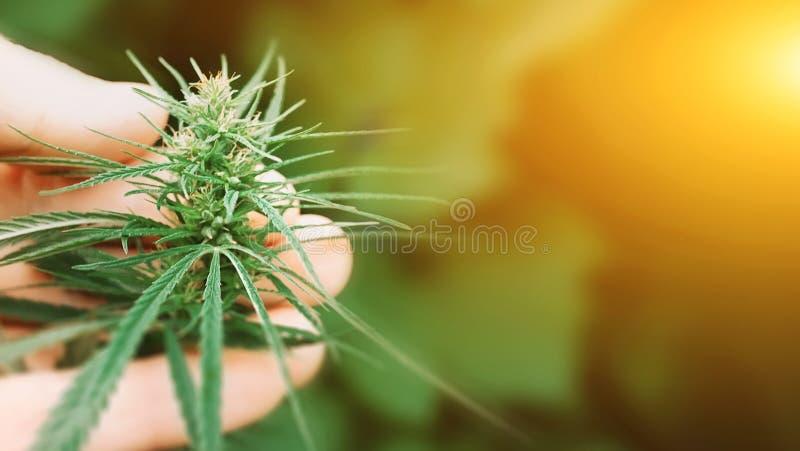 草本替代医学,CBD油的概念 拿着大麻植物的手商业增长为大麻生产 宏指令 免版税库存照片