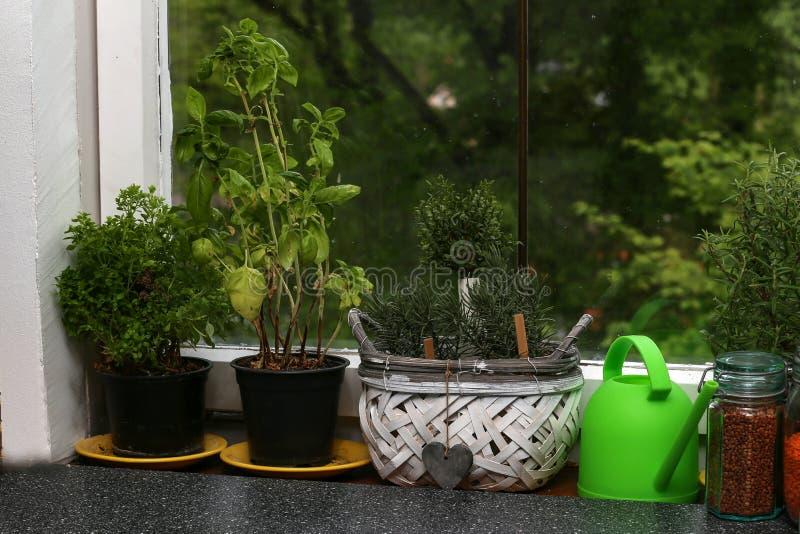 草本植物在窗台养殖 库存照片