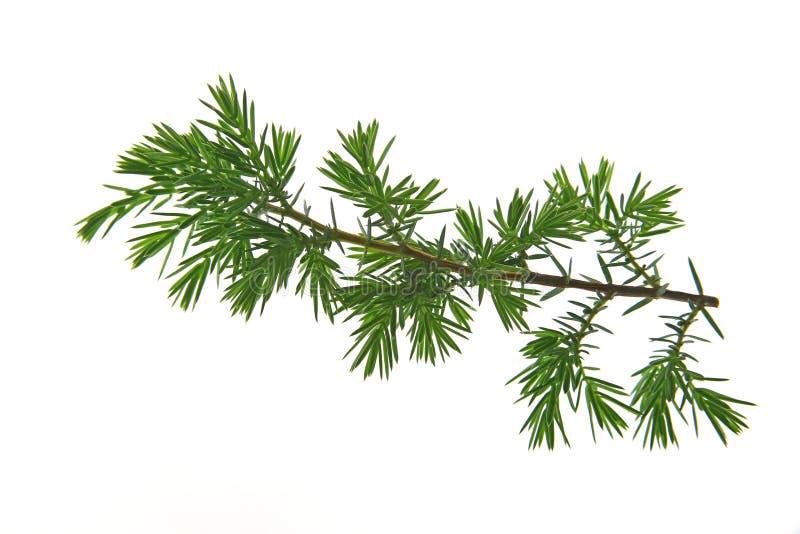 草本种属璎珞柏的桧属 免版税库存图片
