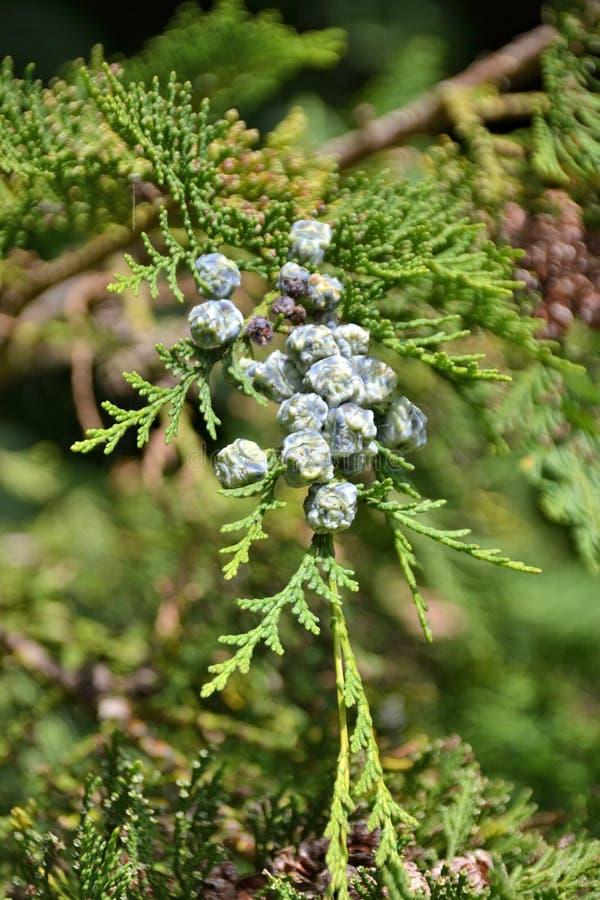 草本种属的桧属-女性杜松种子 免版税图库摄影