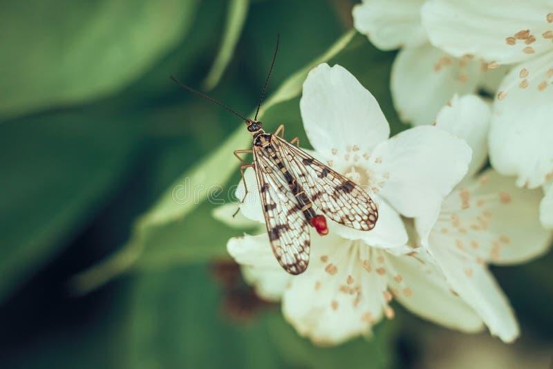草本种属的Scorpionfly或的Panorpa,坐在绿色背景的一朵白色茉莉花花 有用的昆虫毁坏虫 免版税库存照片