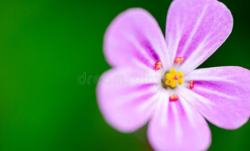 草本罗伯特,大竺葵Robertianum,在紫外的极端宏指令 免版税库存图片