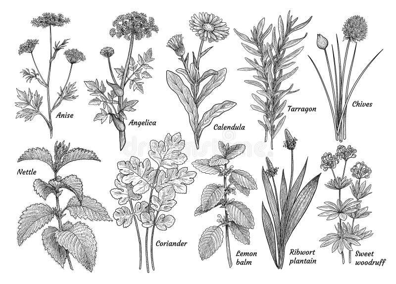 草本,香料,种植汇集,例证,图画,板刻,墨水,线艺术,传染媒介 向量例证