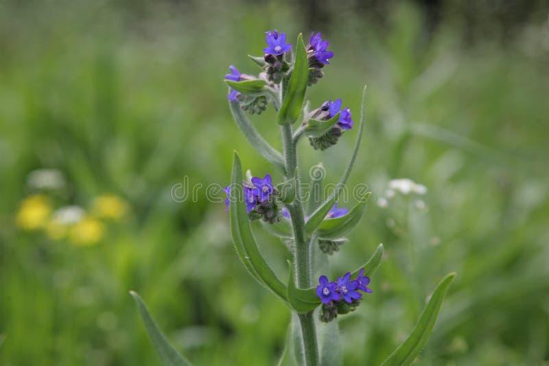 紫草根purpurocaeruleum 图库摄影
