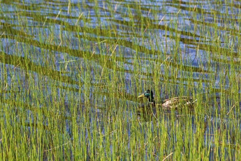 草湖中的绿头鸭 免版税库存图片