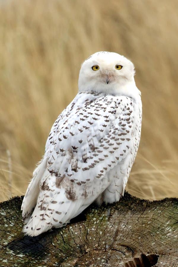 草猫头鹰多雪的树桩 免版税图库摄影