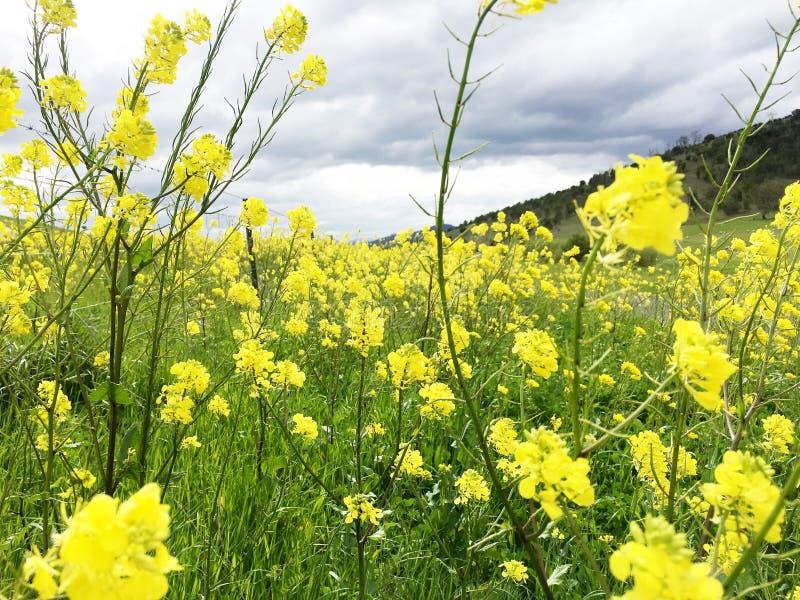 草甸充满黄色油菜花 图库摄影