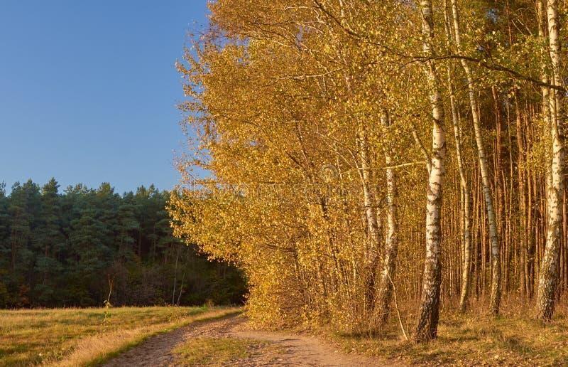 草甸和桦树树丛 免版税库存图片