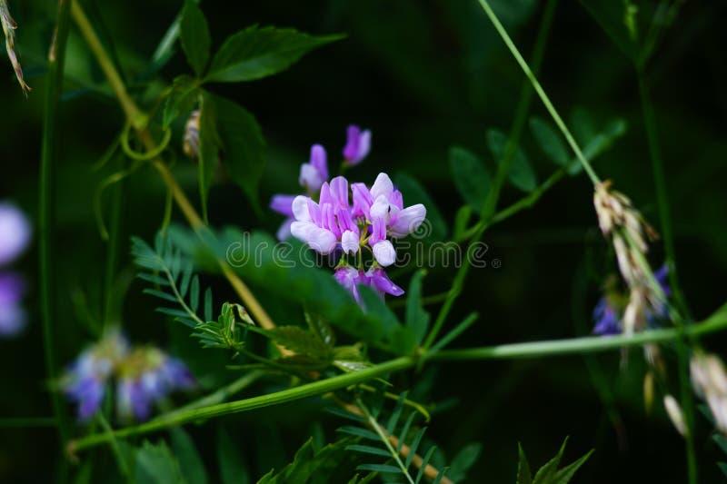 草甸和领域花,在丛林中的小白色和紫色花,夏天 免版税库存照片