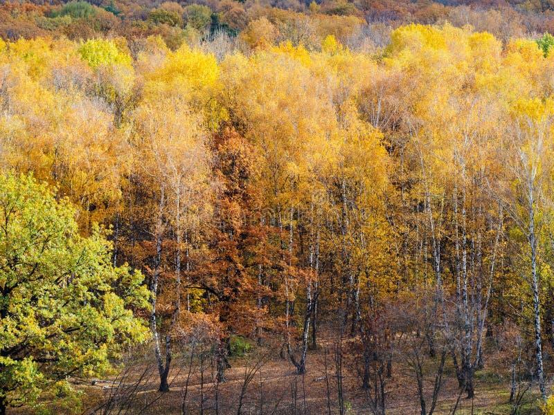 草甸在桦树树丛里在五颜六色的森林里 库存图片