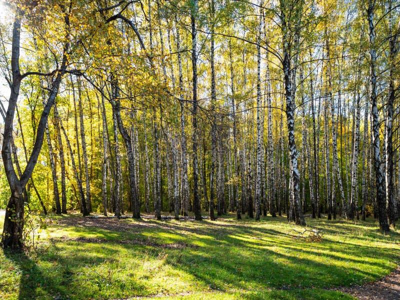 草甸在都市公园桦树树丛里在秋天 库存照片