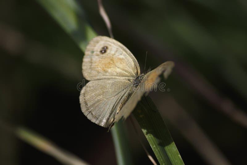 草甸布朗蝴蝶与残破的翼的maniola jurtina在草刀片栖息 图库摄影