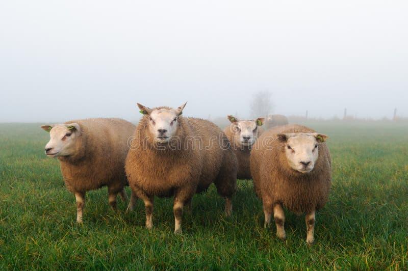 草甸有薄雾的绵羊 库存图片