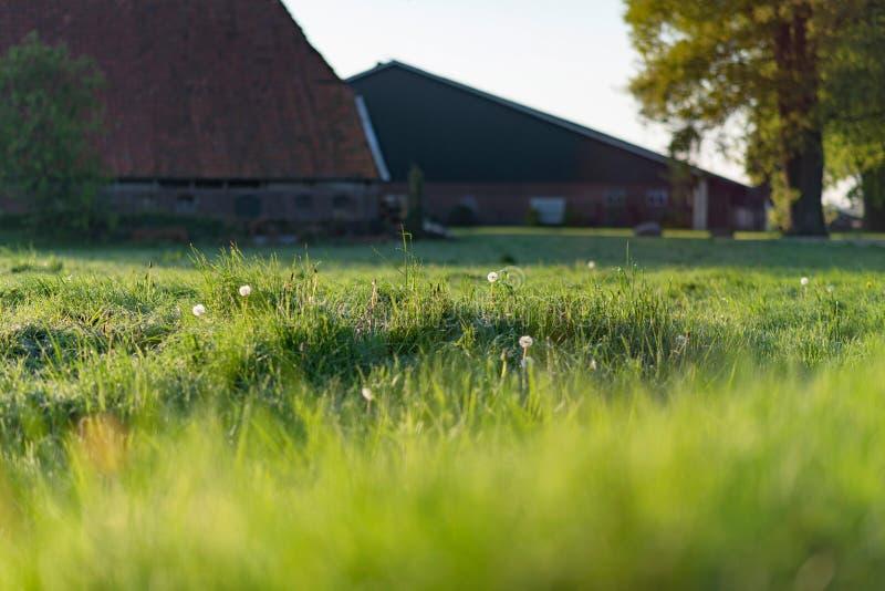 草甸用退色的蒲公英在阳光下在春天期间 图库摄影