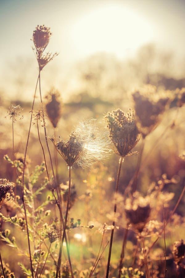 草甸的秋天干燥植物有阳光的 库存图片