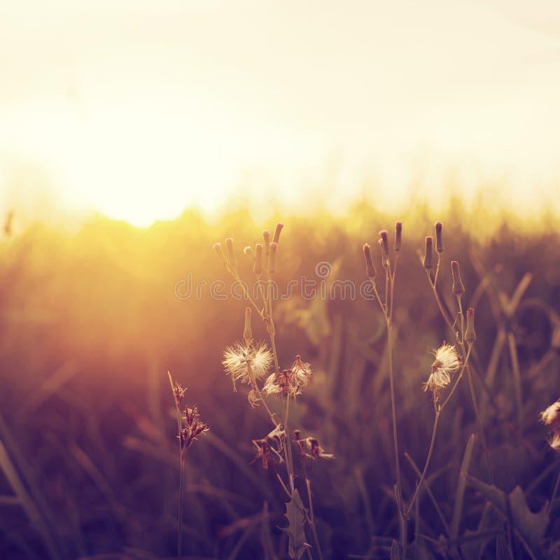 草甸蒲公英在橙色日落的领域开花 免版税图库摄影