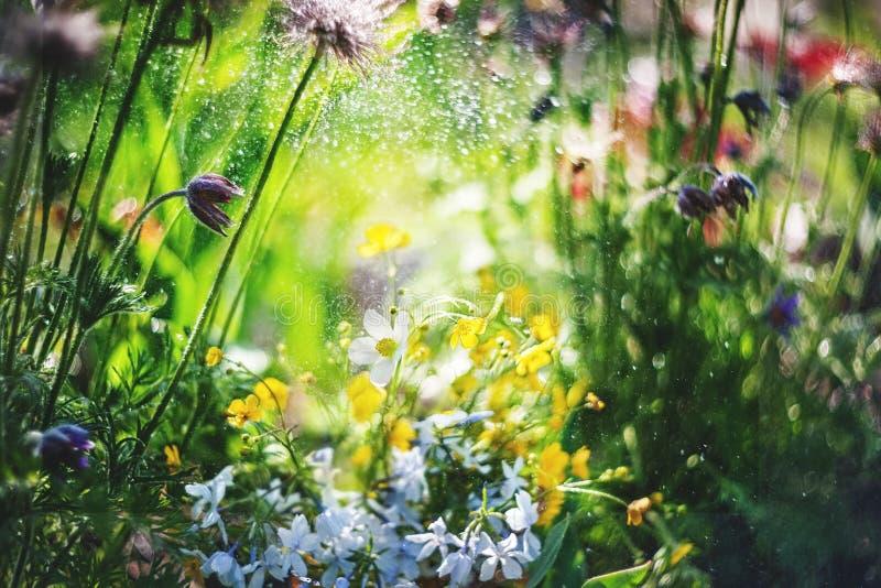 草甸银莲花属的野花本质上 与野花的自然夏天背景在早晨太阳关闭的草甸 图库摄影