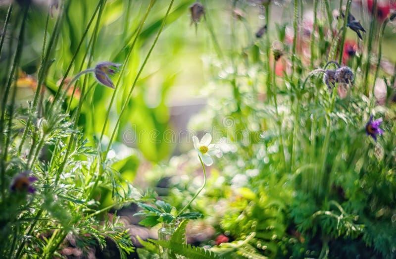 草甸银莲花属的野花本质上 与野花的自然夏天背景在早晨太阳关闭的草甸 免版税图库摄影