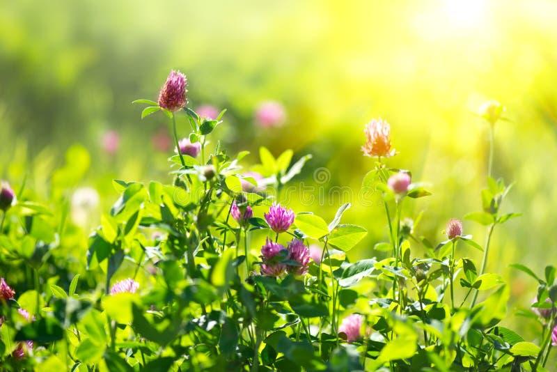 草甸 在春天领域的三叶草花 库存图片