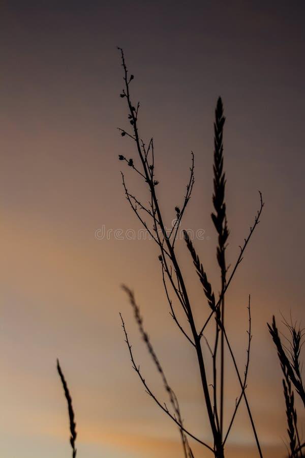 草的小尖峰反对日落天空的 免版税库存图片