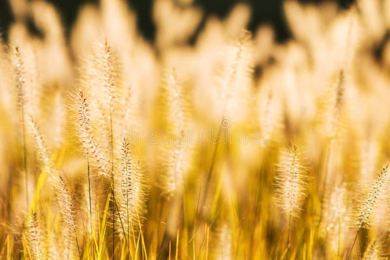 草的狂放的领域在日落的,软的太阳发出光线 免版税库存照片