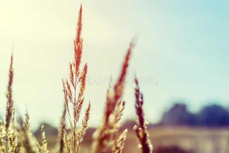 草的狂放的领域在日落的,软的太阳发出光线 库存图片