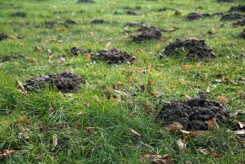 草的田鼠窝在庭院, Bu里均匀地毁坏草坪 免版税库存照片