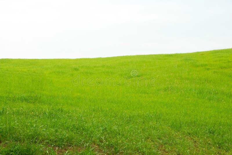 草的绿色领域在意大利 免版税库存图片