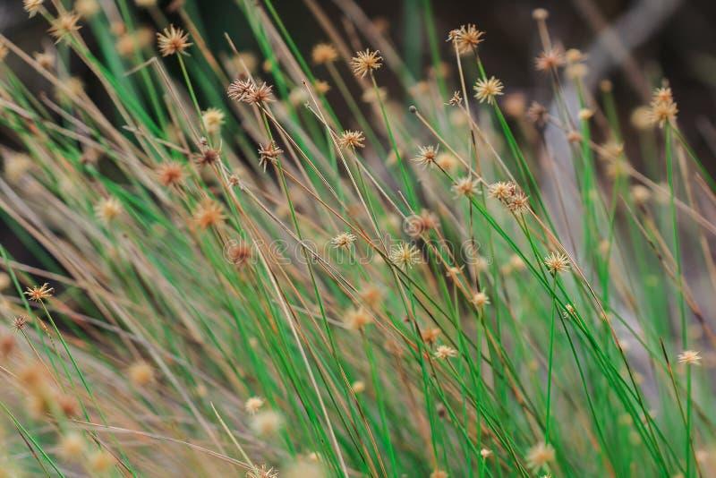 草的花粉开始烘干 免版税库存照片